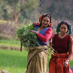 Producing green fodder from wheat helps animals and people in India's UttarakhandState