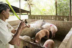 Policy dialogue to enhance inclusive policies in Vietnam's smallholder pigsector