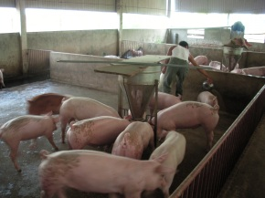 First-of-its-kind study assesses antibiotic use in Vietnamese pigfarms