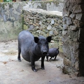 OiE posters on African swine fever now available in Vietnamese