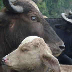 ILRI and India's National Institute of Animal Biotechnology explore collaboration opportunities in livestock disease diagnostics and vaccine development