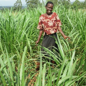 A new study gives insights on Napier (elephant) grass, a fast-growing tropicalgrass