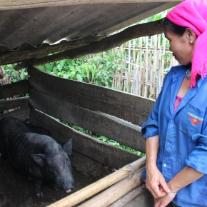 BMZ-funded project to share recommendations for enhancing pork safety and adoption of local pigs in rural Vietnam