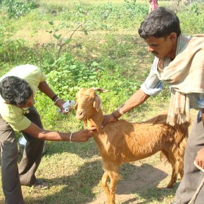 India Ministry of Fisheries, Animal Husbandry and Dairying and ILRI to work together in livestock master plandevelopment